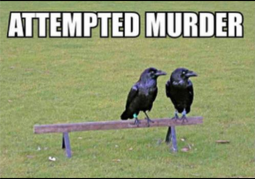 attempted murder: 2 crows